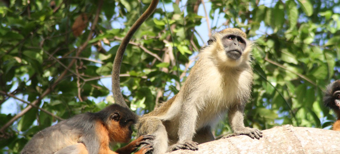 a science paper on colobus monkeys Science news  the paper titled zanzibar's endemic red colobus piliocolobus  kirkii: first systematic and total assessment of  scientists have known about the  zanzibar red colobus monkey for 150 years, yet this is the first.