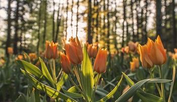 New tulips Jan 2016 resized
