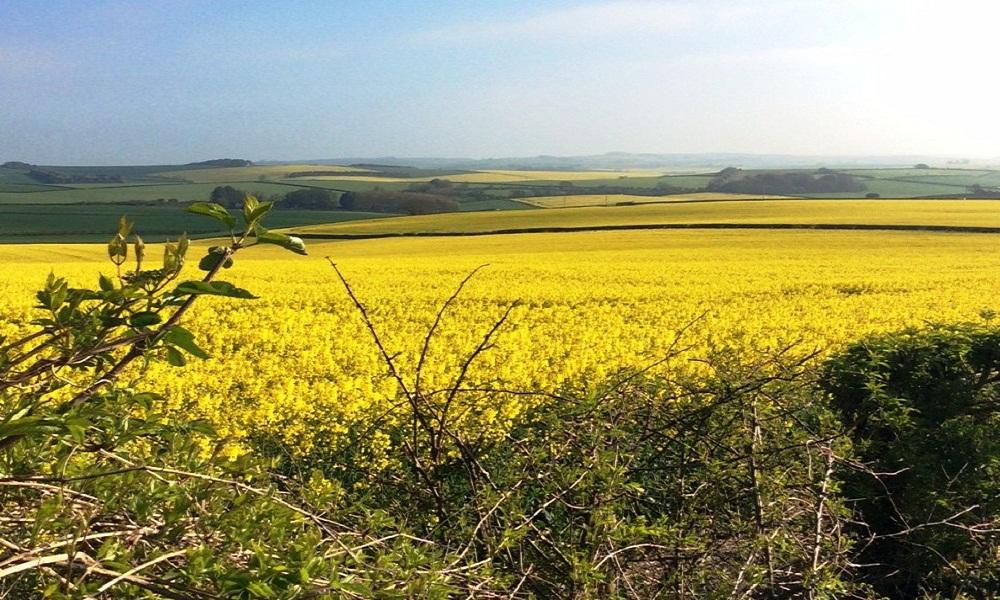 Dorset Fieldjpg