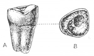 Two views of the Plagiaulax dawsoni tooth