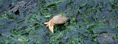 Crab stuck in a seaweed mat